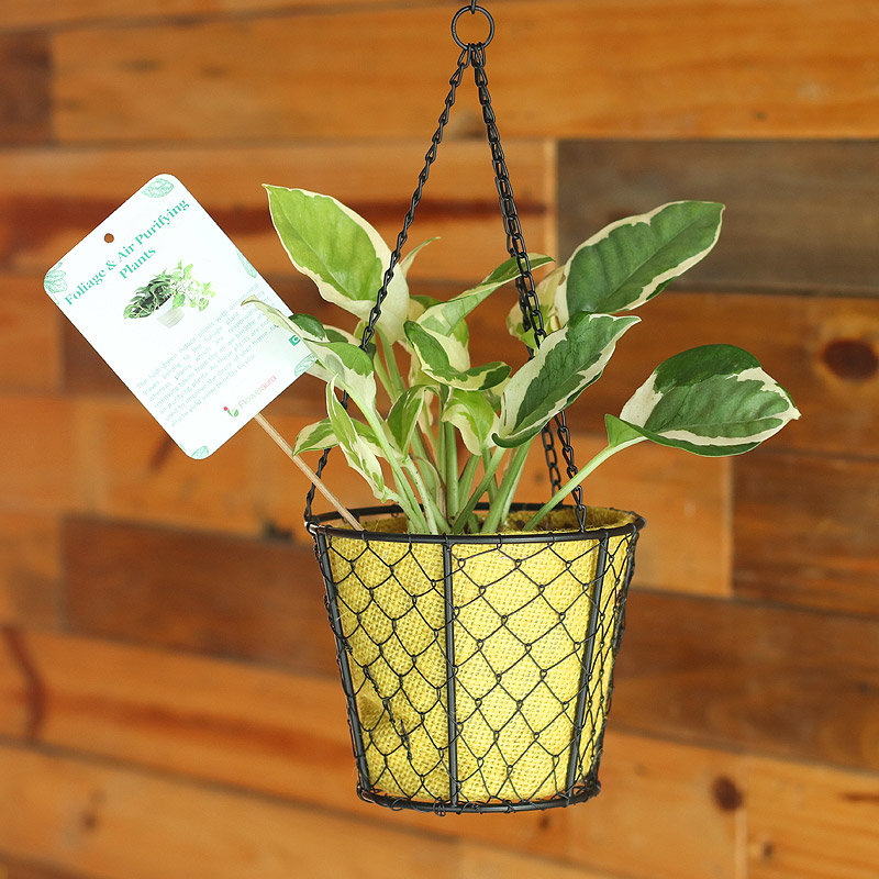 Hanging Charm - Good Luck Plant Indoors in Hanging Bucket