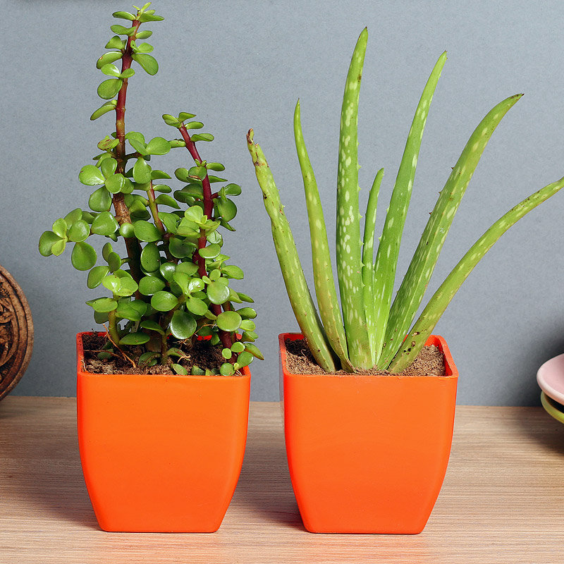 Hardy Bros Plant Combo - Succulent Cactus and Medicinal Plant Outdoor and Indoor in Blossom Vases