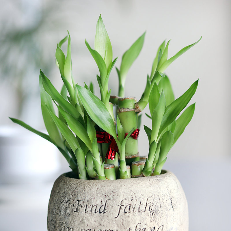 Have Faith Bamboo Plant Online