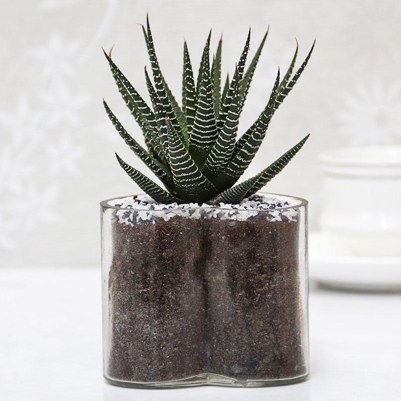 Haworthia Glass Plant