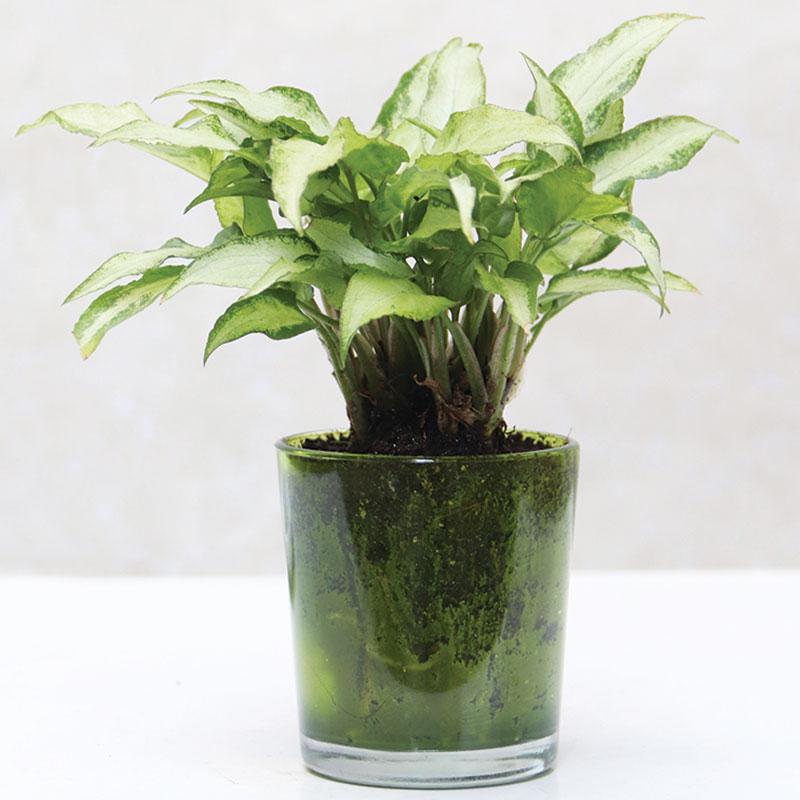 Heart Leaf Plant|Conical Glass Vase