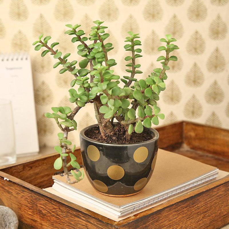 Heart Warming Good Luck Jade Plant