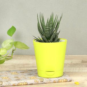 Hearty Haworthia Plant