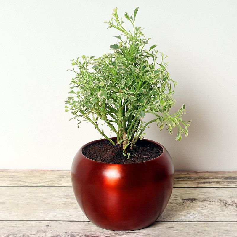 Herby Aralia Plant