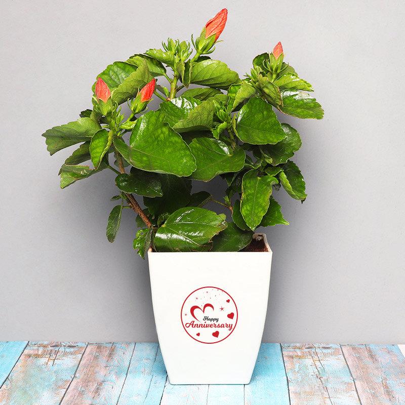 Hibiscus Anniversary Plant - Flowering Plant Outdoors in Floweraura Chatura Vase