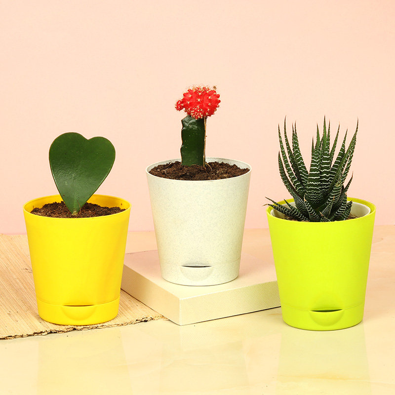 Hoya Red Moon Cactus N Haworthia Plant Combo