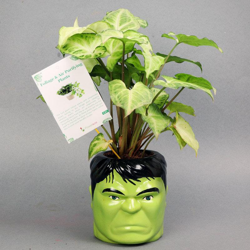 Hulk Syngonium Plant With Rakhi - Rakhi with Gifts Online