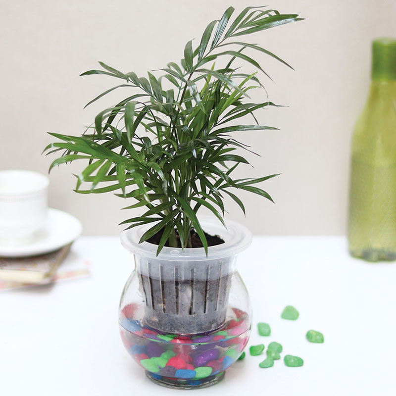 Chamaedorea Plant  Air Purifying, Hydrponic Self Watering Vase