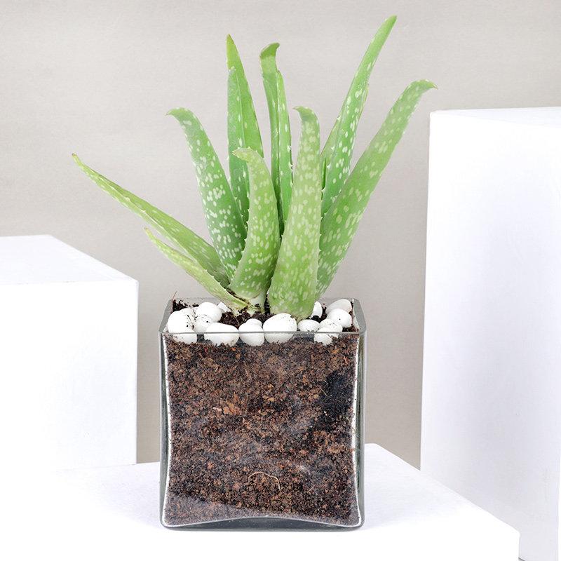 Aloe Vera Plant Terrarium