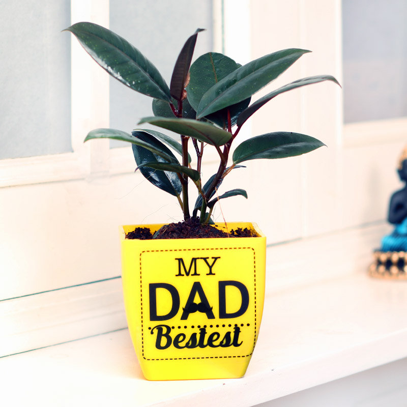Rubber Plant in Yellow Vase for Dad