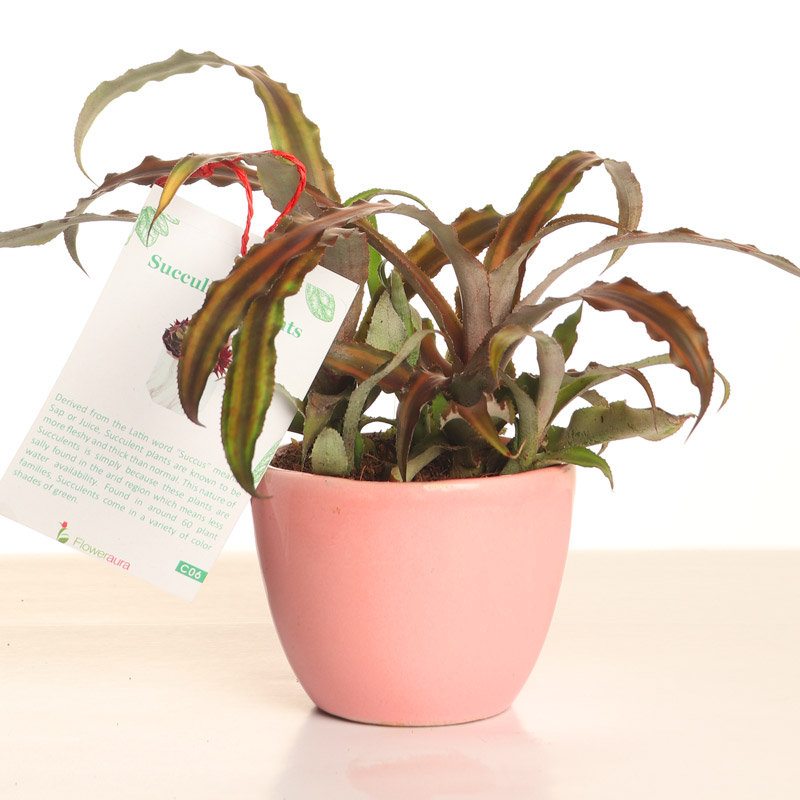 Indoor Plant for Gifting