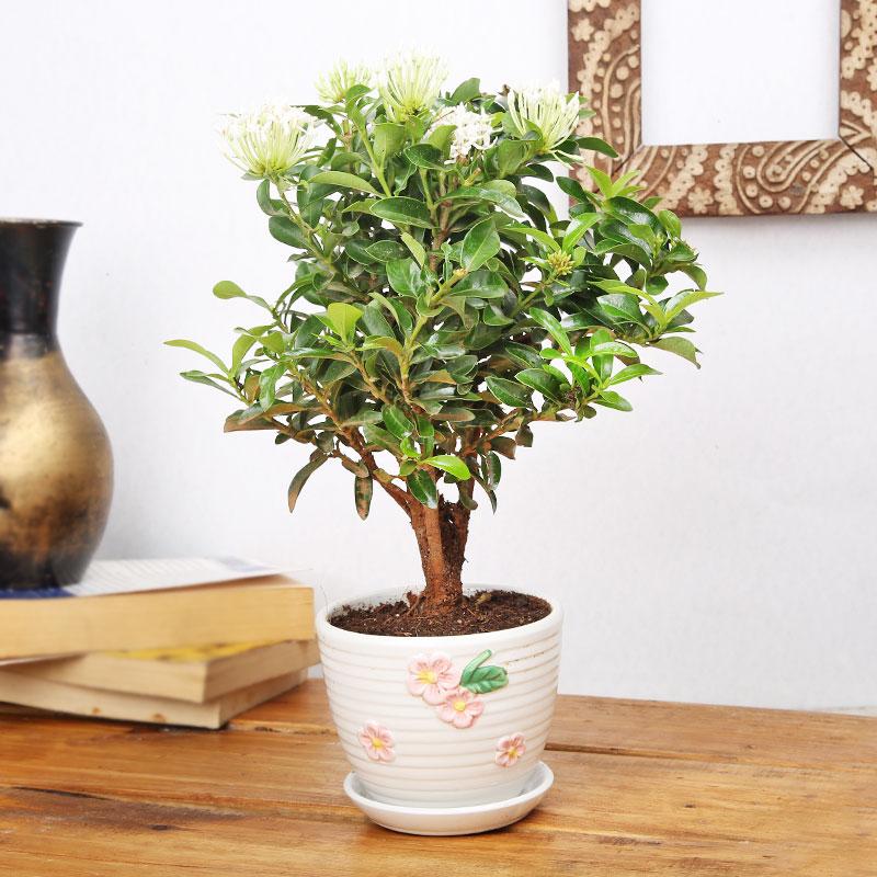 Interesting Ixora Plant