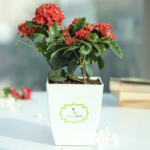 Ixora Bloom Plant