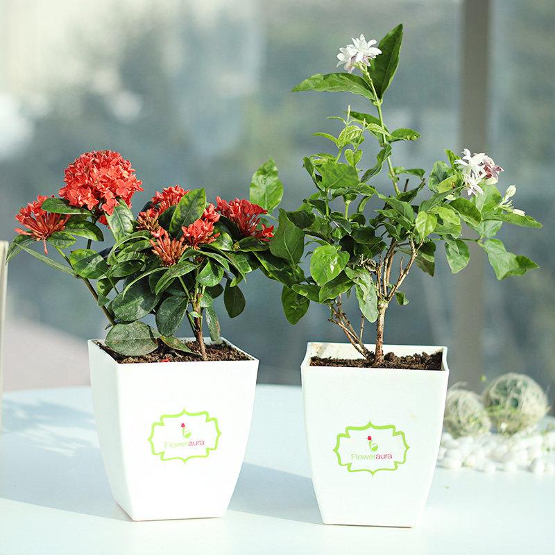 Combo of Jasmine Plant and Ixora Plant