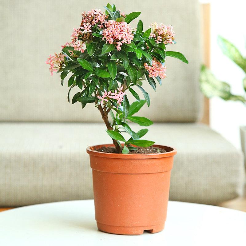 Ixora Plant in Red Vase