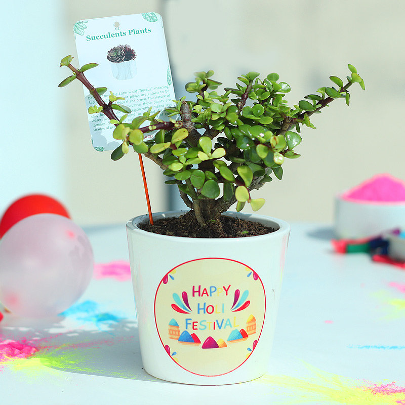Jade Holi Plant