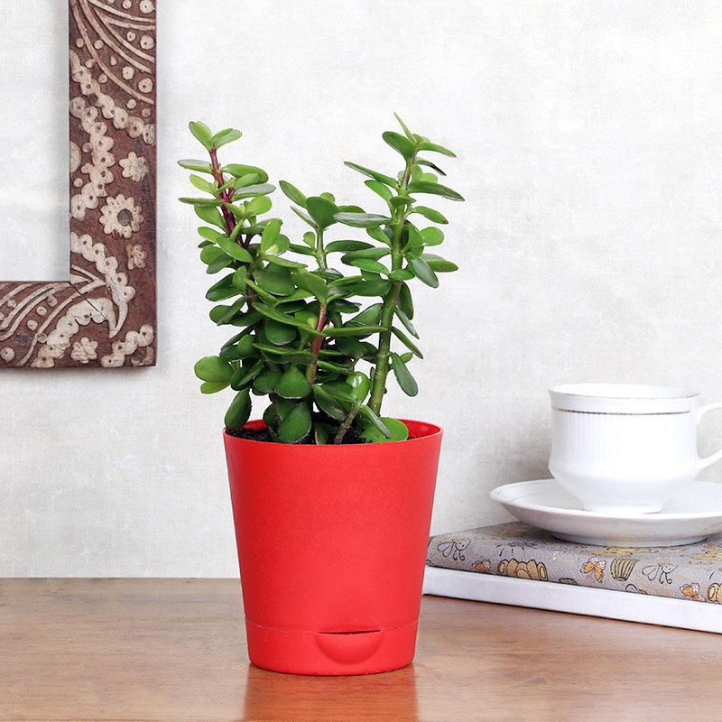 Jade In Red Pot