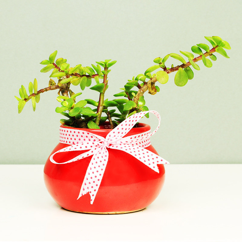 Jade in Red Pot - A Christmas Plant