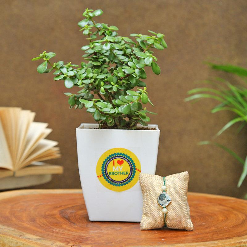Jade Love Bro Rakhi Plant - One Day Delivery