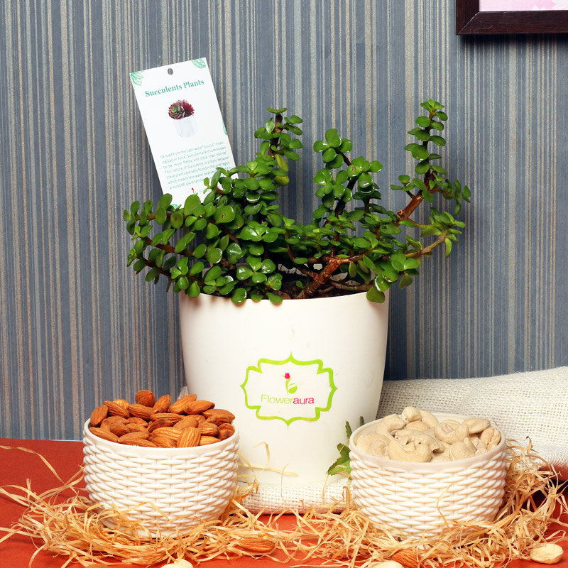 Jade N Dry Fruits Combo - Succulent and Cactus Plant Outdoors in Floweraura Rhonda Vase with Set of 5 Diyas and 500gm Almonds and Cashews in Potli