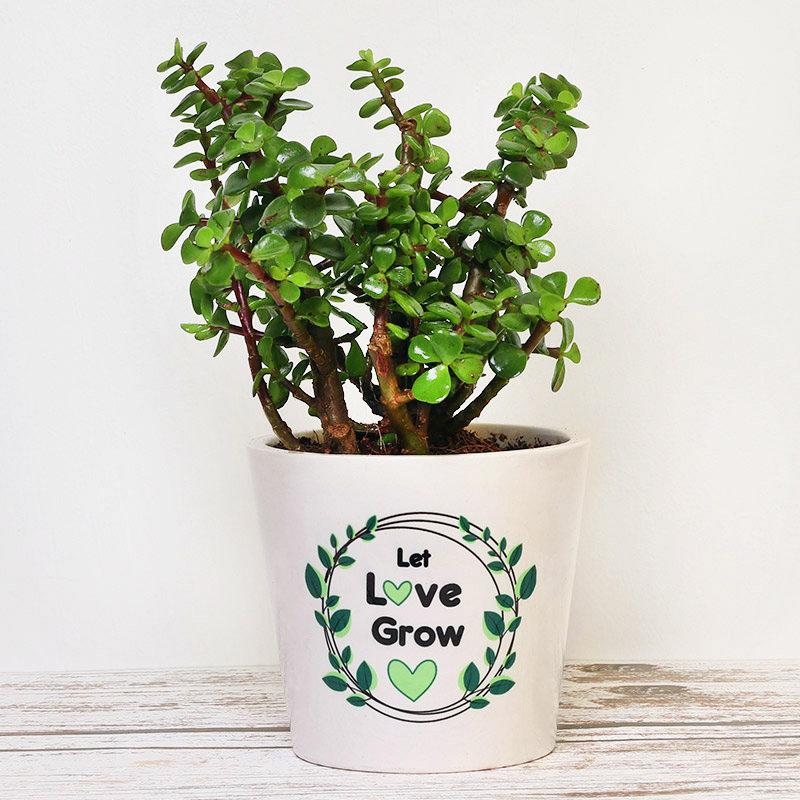 Jade Plant In Printed White Vase