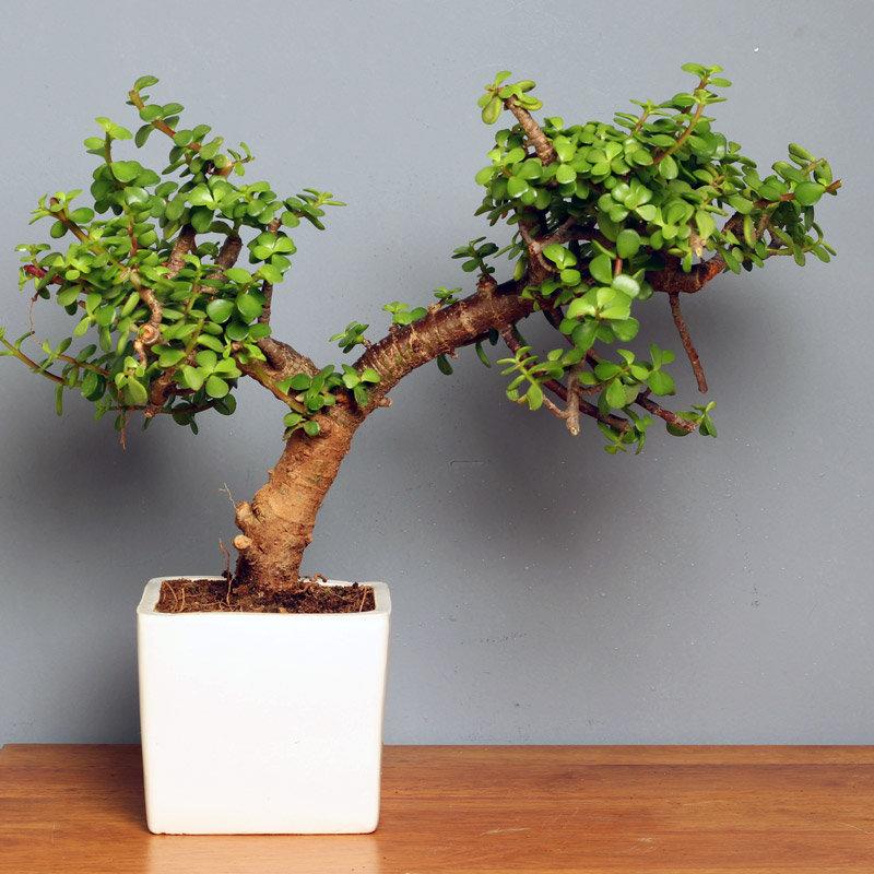 Jolly Jade Bonsai - Bonsai Plant Outdoors in Square White Vase