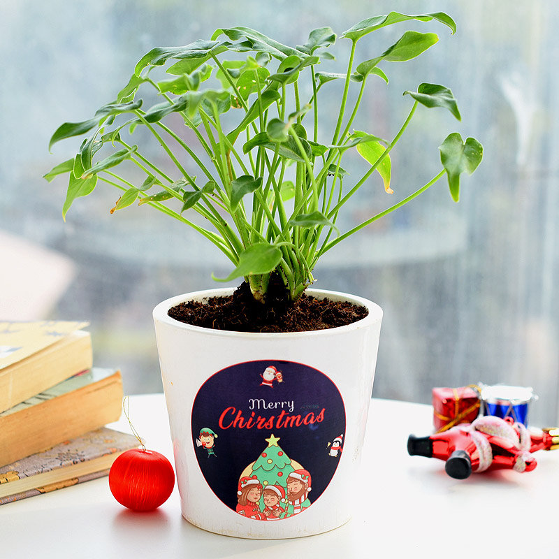 Jolly Xanadu Plant - Foliage Plant Indoors in Conical Printed Vase