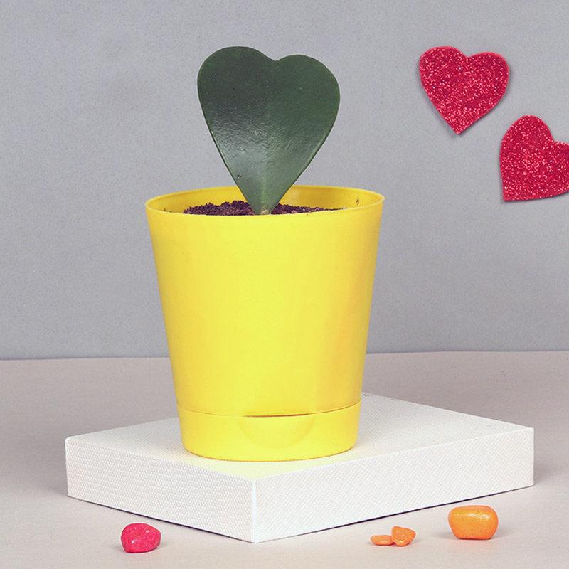 Jovial Hoya Plant