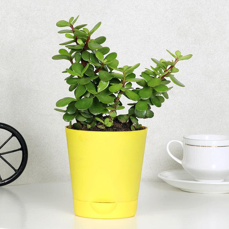 Joyful Jade Plant
