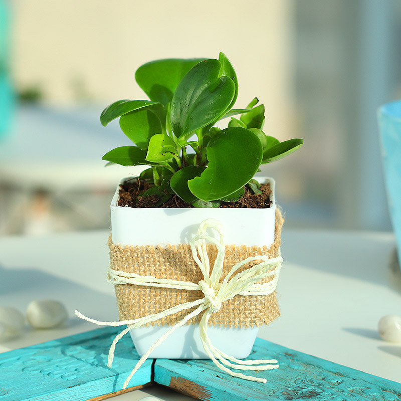 Peperomia Plant in Jute Wrapping