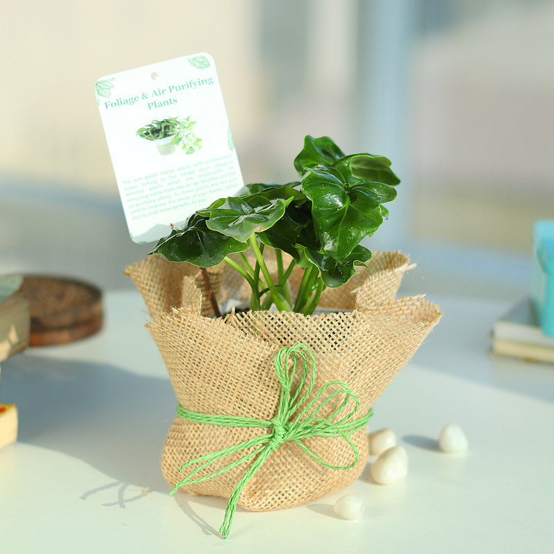 Philodendron Plant in Jute Wrapping