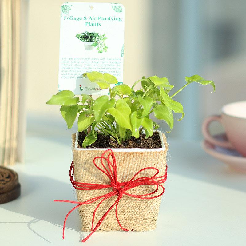 Xanadu Plant in Jute Wrapping