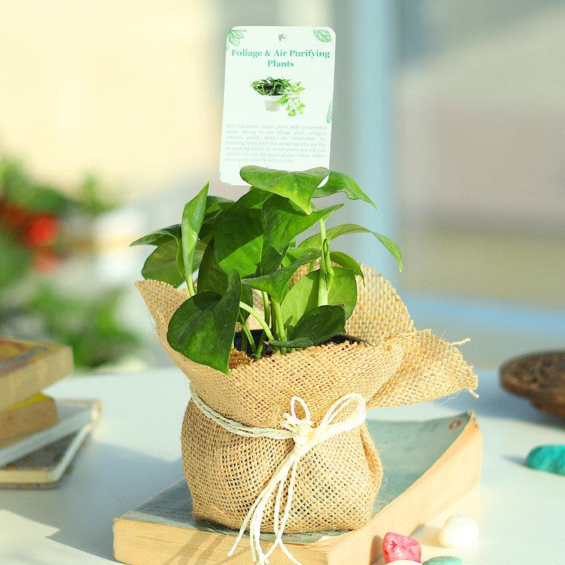 Jutely Luck - Good Luck Plant Indoors in Plastic Standard Vase