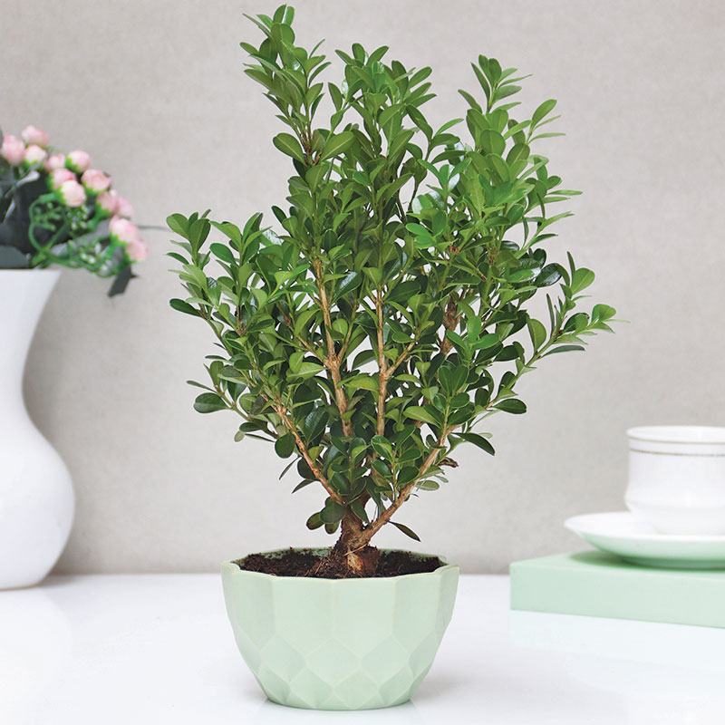 Leafy Dwarf Plant|Geometrical Vase