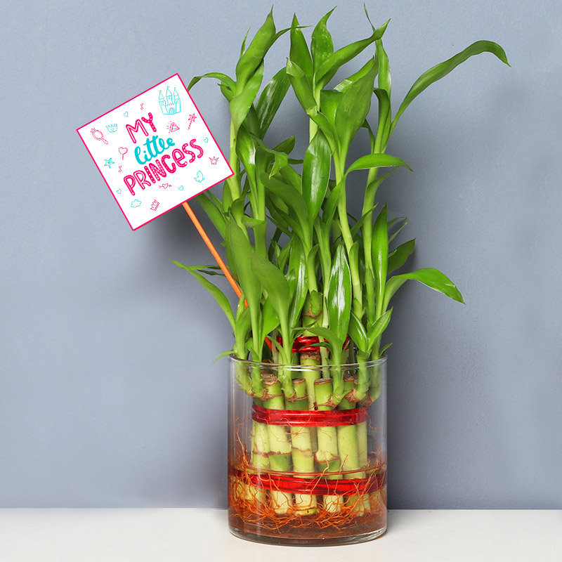 Lucky Bamboo for Daughter