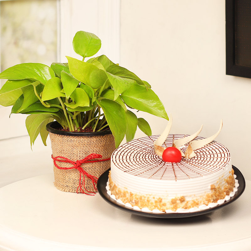 Money Plant with Butterscotch Cake Combo
