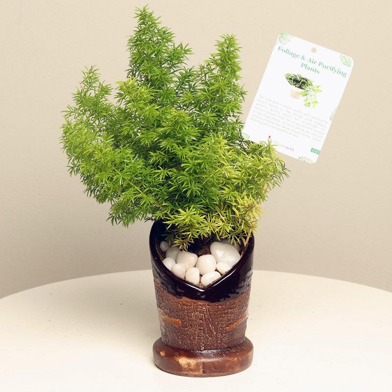 Lovely Asparagus Mary Plant