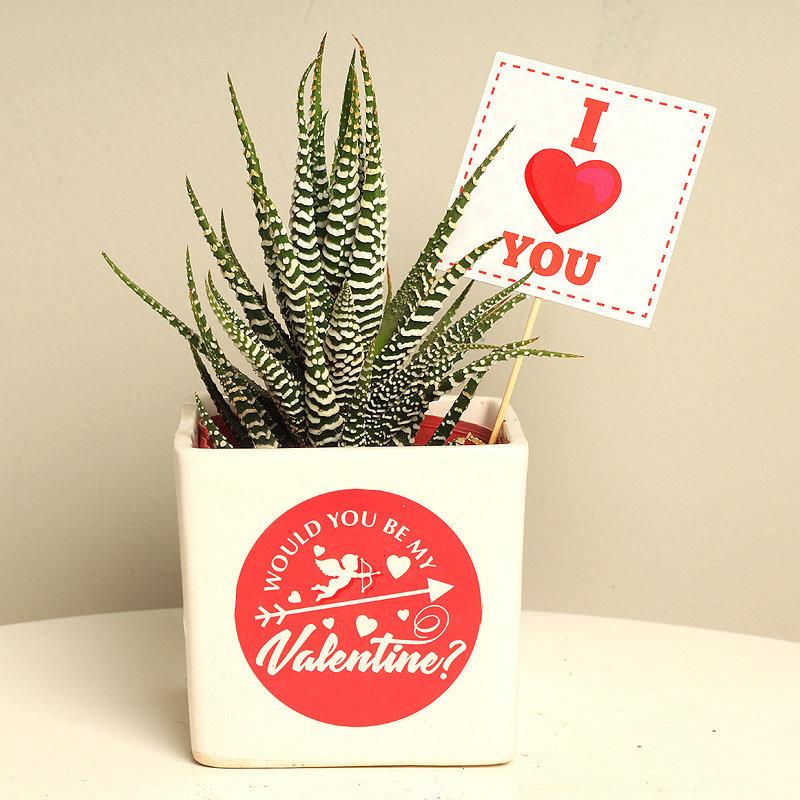 Lovely Haworthia Plant Gift For Valentine Partner