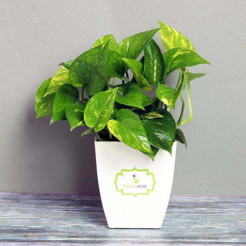 Money Plant in White Vase