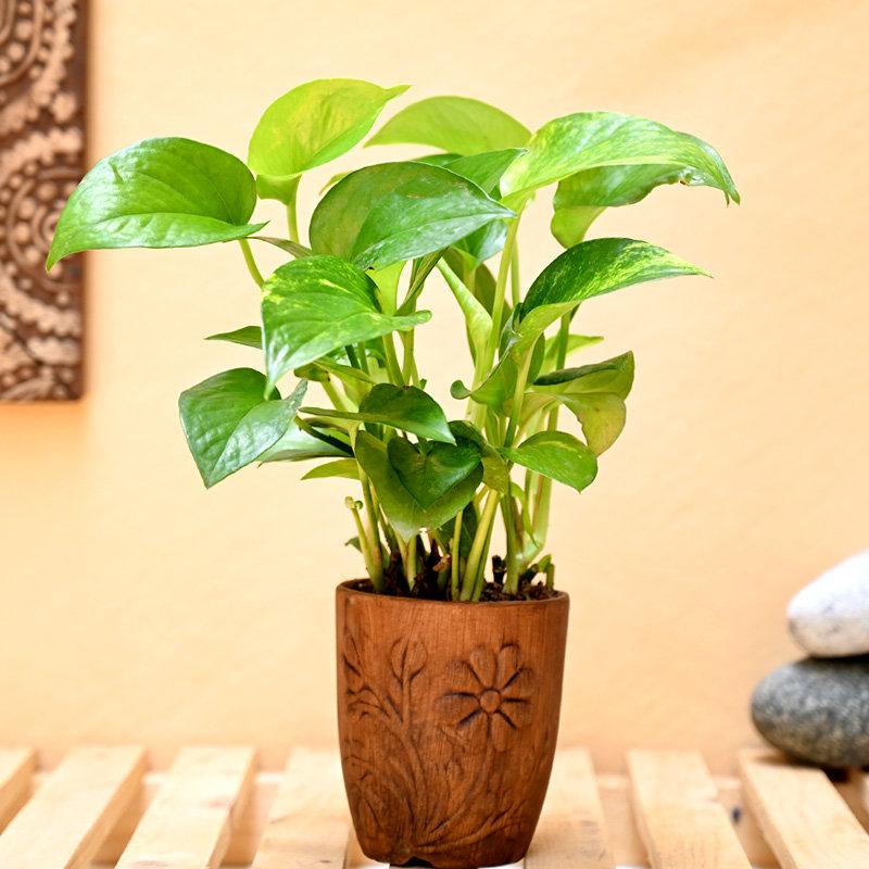 Lucky Money Plant