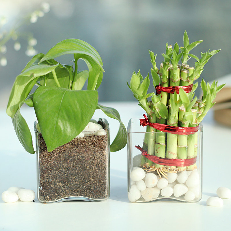 Combo of Money Plant and Bamboo Plant