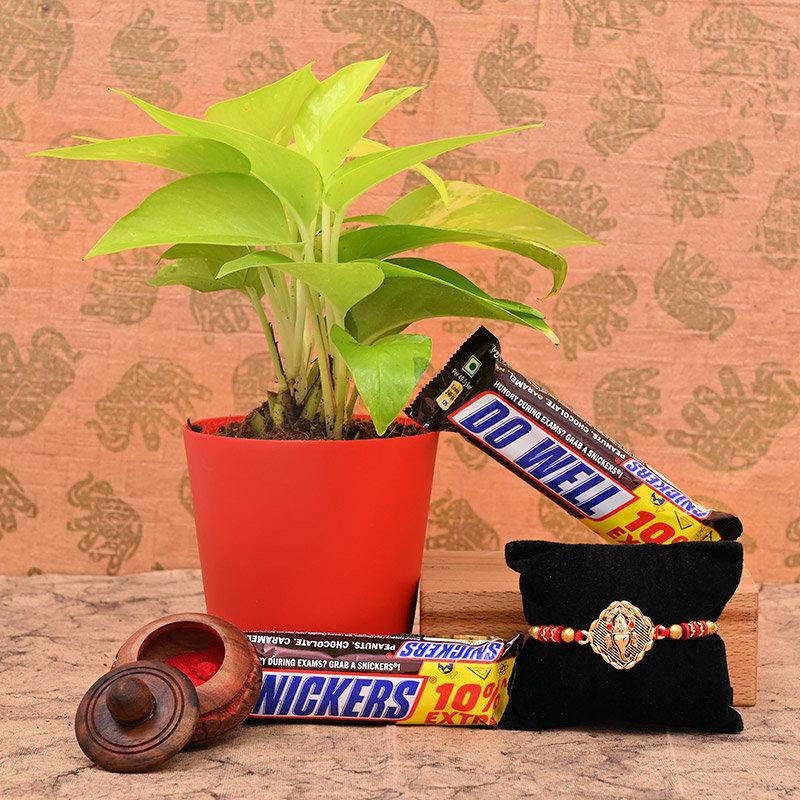 Plant Rakhi and Chocolate Box Hamper Online