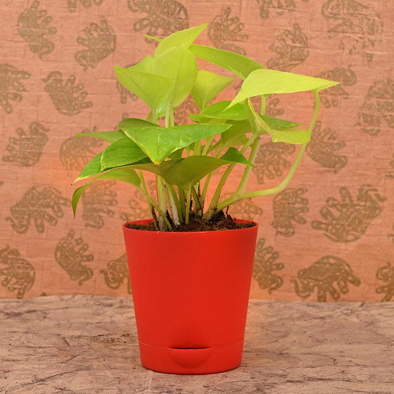 Plant Rakhi and Chocolate Box Hamper Online Plant View
