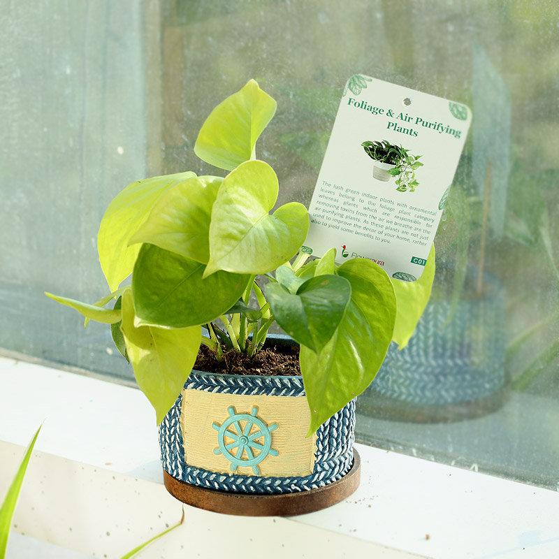 Mama Money Plant - Good Luck Indoors Plant in Designer Sailor Vase
