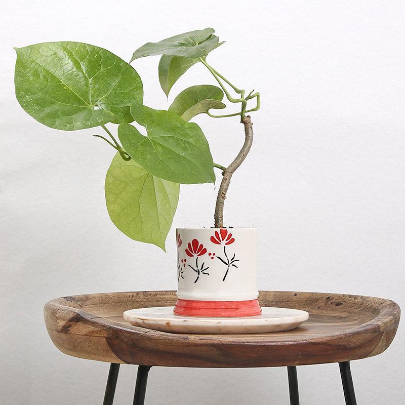 Medicinal Giloe Plant