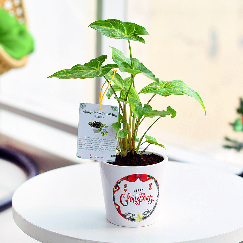 Merriment Around Syngonium - Foliage Plant Indoors in Conical Printed Vase