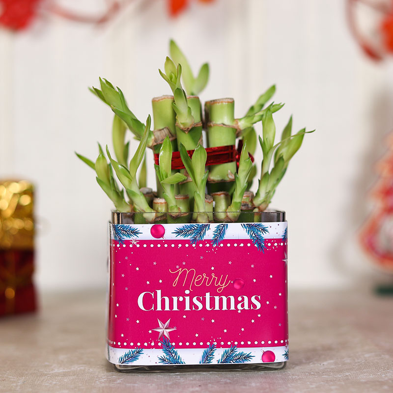 Merry Christmas Gift 2 Layer Lucky Bamboo Plant