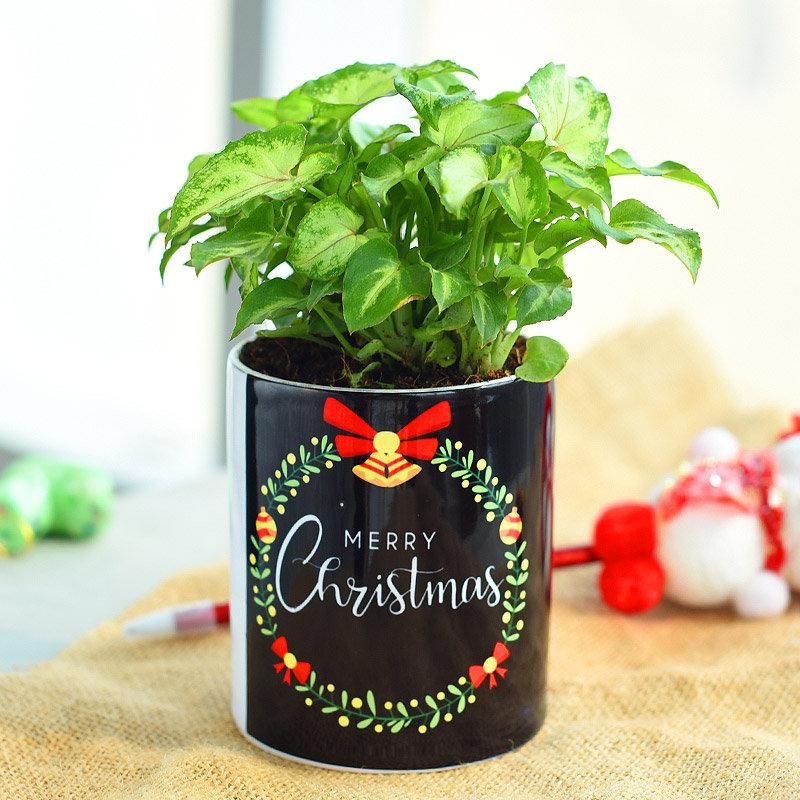 Merry Syngonium Yami Plant - Foliage Plant Indoors in Mug Printed Vase