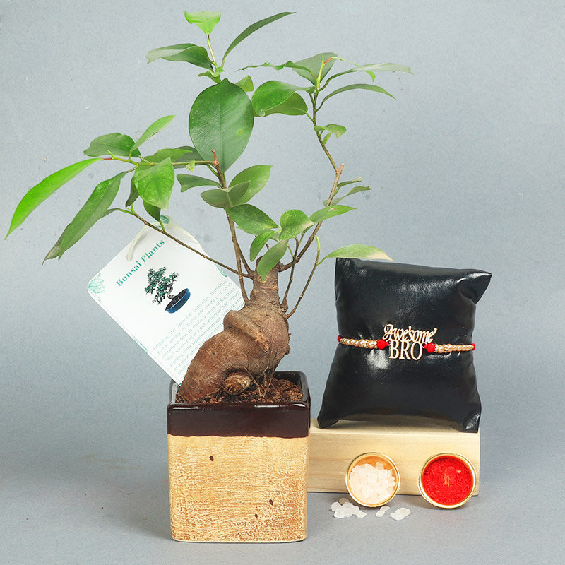 Microcarpa Mini Plant N Rakhi Combo - One Designer Rakhi with Bonsai Plant in Picaso Light Brown Vase