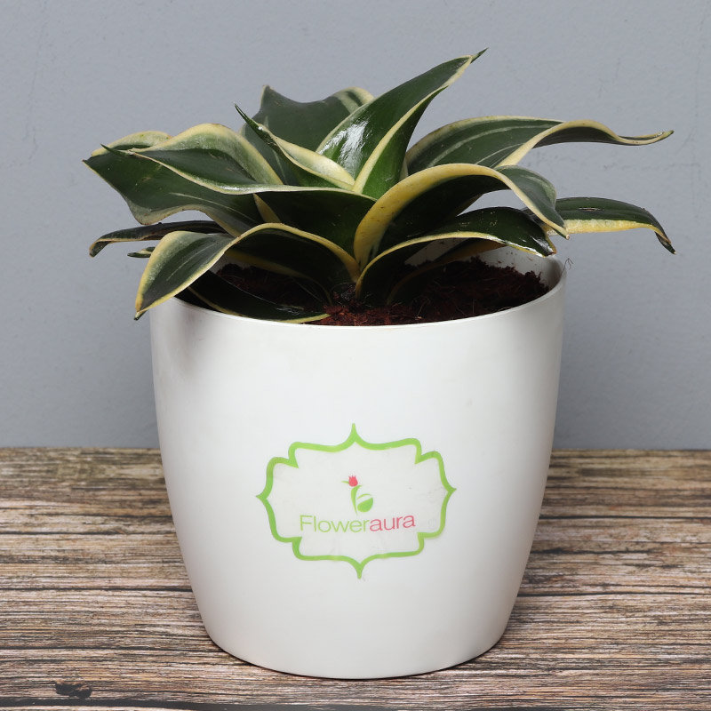 Milt Sansevieria Plant in White Vase